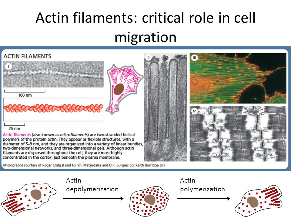 Actin filaments: critical role in cell migration Actin depolymerization Actin polymerization