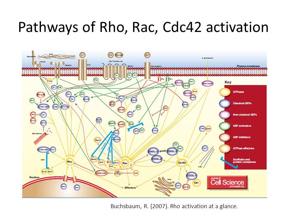 Pathways of Rho, Rac, Cdc42 activation Buchsbaum, R. (2007). Rho activation at a glance.