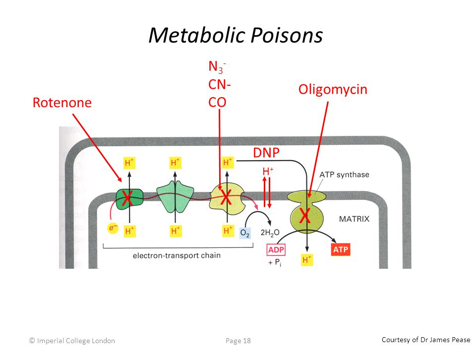 © Imperial College LondonPage 18 Metabolic Poisons X X N 3 - CN- CO Oligomycin X Rotenone DNP H+H+ Courtesy of Dr James Pease