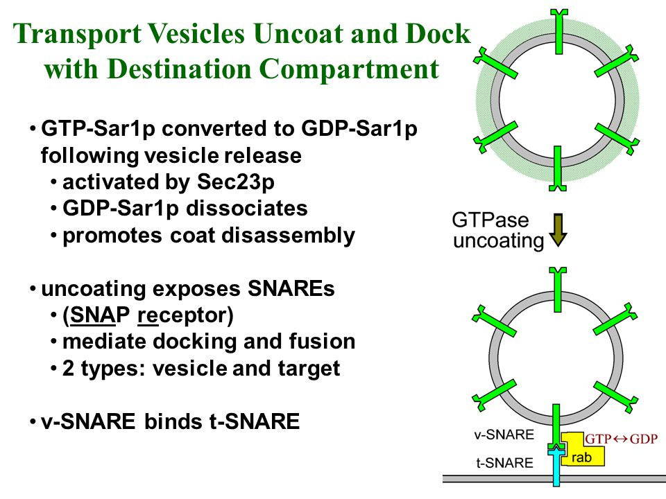 GTP-Sar1p converted to GDP-Sar1p following vesicle release activated by Sec23p GDP-Sar1p dissociates promotes coat disassembly uncoating exposes SNARE