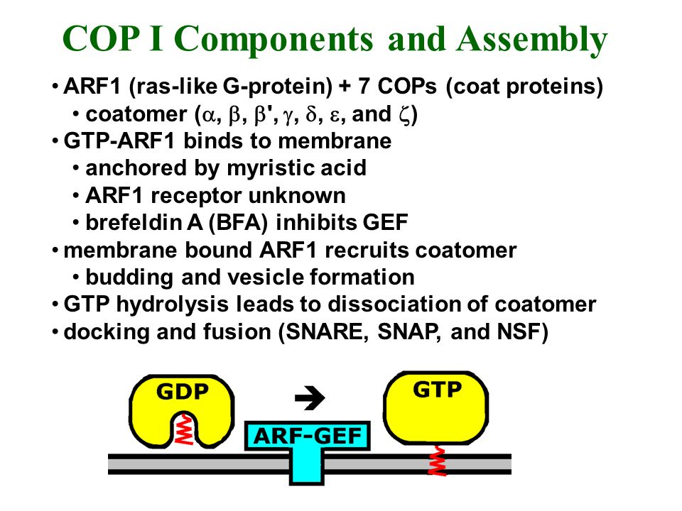 ARF1 (ras-like G-protein) + 7 COPs (coat proteins) coatomer (,, ',,,, and ) GTP-ARF1 binds to membrane anchored by myristic acid ARF1 receptor unknown