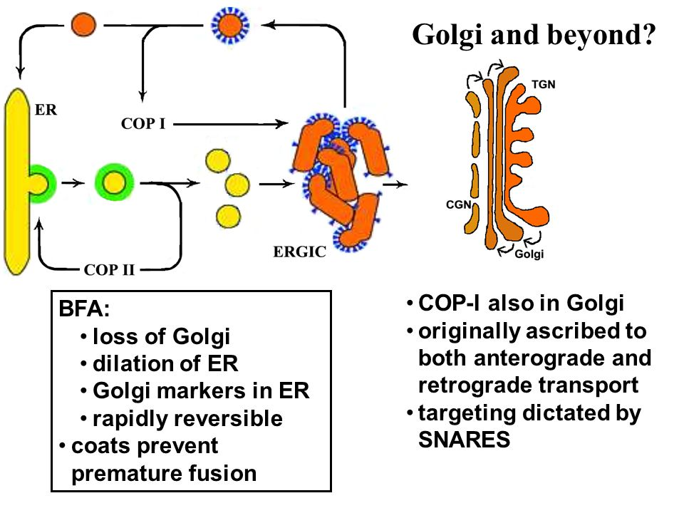 COP-I also in Golgi originally ascribed to both anterograde and retrograde transport targeting dictated by SNARES BFA: loss of Golgi dilation of ER Go