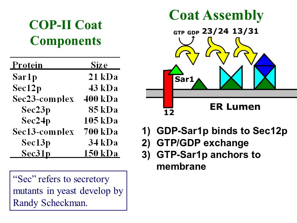 COP-II Coat Components 1)GDP-Sar1p binds to Sec12p 2)GTP/GDP exchange 3)GTP-Sar1p anchors to membrane Sec refers to secretory mutants in yeast develop
