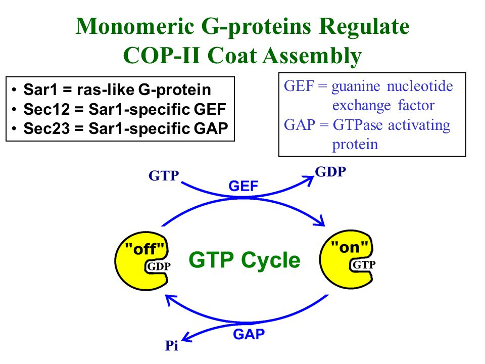Monomeric G-proteins Regulate COP-II Coat Assembly Sar1 = ras-like G-protein Sec12 = Sar1-specific GEF Sec23 = Sar1-specific GAP GEF = guanine nucleot