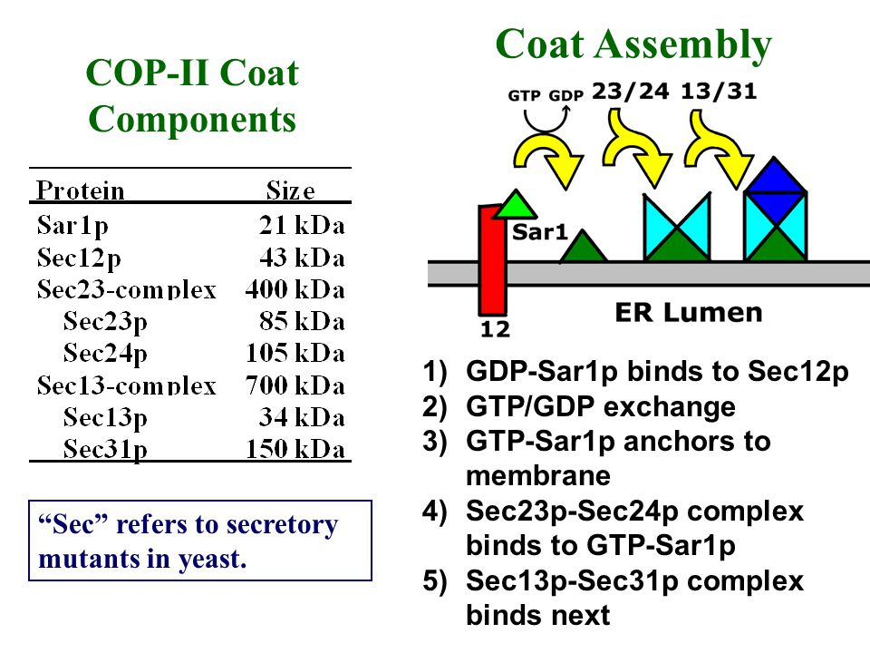 COP-II Coat Components 1)GDP-Sar1p binds to Sec12p 2)GTP/GDP exchange 3)GTP-Sar1p anchors to membrane 4)Sec23p-Sec24p complex binds to GTP-Sar1p 5)Sec