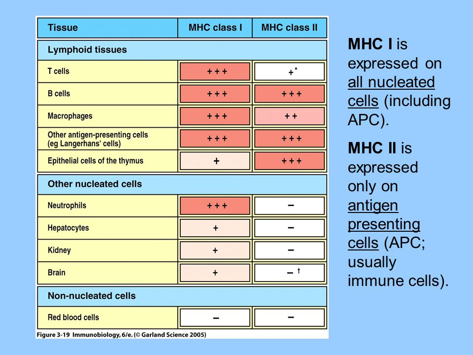 MHC I is expressed on all nucleated cells (including APC). MHC II is expressed only on antigen presenting cells (APC; usually immune cells).