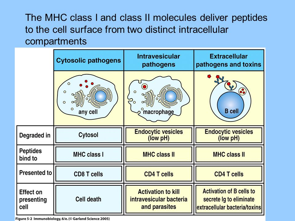 Major Histocompatibility Complex-3 MHC genes = immune response genes (Ir) Immune responsiveness to any single peptide depends on inheritance of an MHC molecule which can bind that peptide.