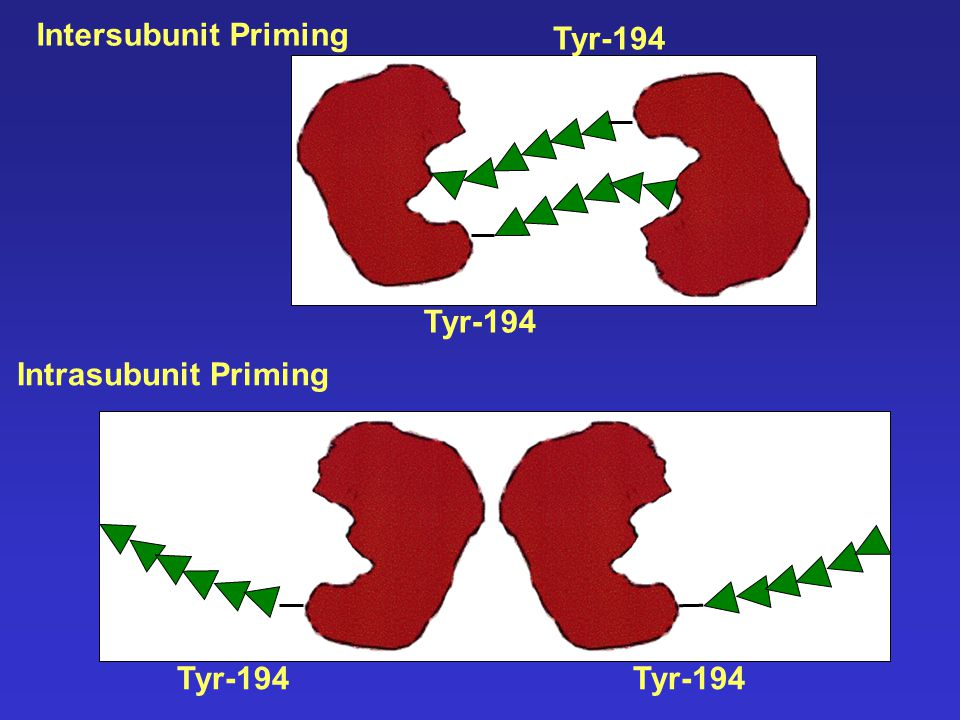 Intersubunit Priming Tyr-194 Intrasubunit Priming Tyr-194