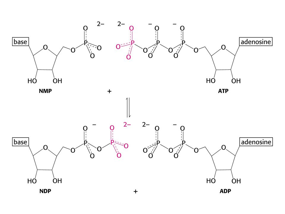 Dihydrolipoyl transacetylase (E2) Core of the complex *8 catalytic trimers *N-terminal domain contains a bound lipoamide cofactor that acts as a swinging arm *Flexible arm has the ability to call on each active site of E1, E2 and E3 in turn