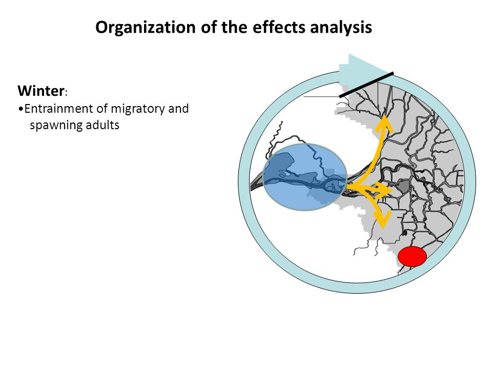 Winter : Entrainment of migratory and spawning adults Organization of the effects analysis