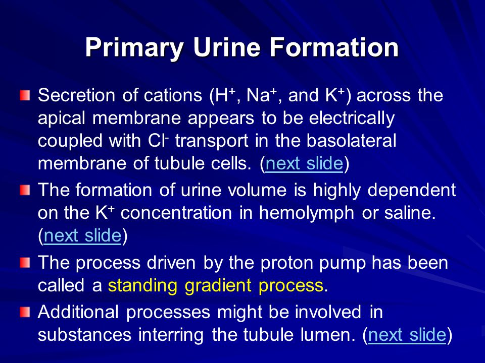 Primary Urine Formation Secretion of cations (H +, Na +, and K + ) across the apical membrane appears to be electrically coupled with Cl - transport i