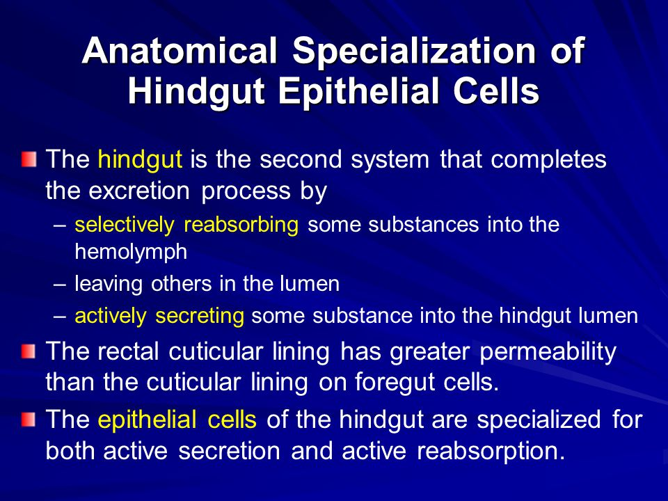 Anatomical Specialization of Hindgut Epithelial Cells The hindgut is the second system that completes the excretion process by – –selectively reabsorb