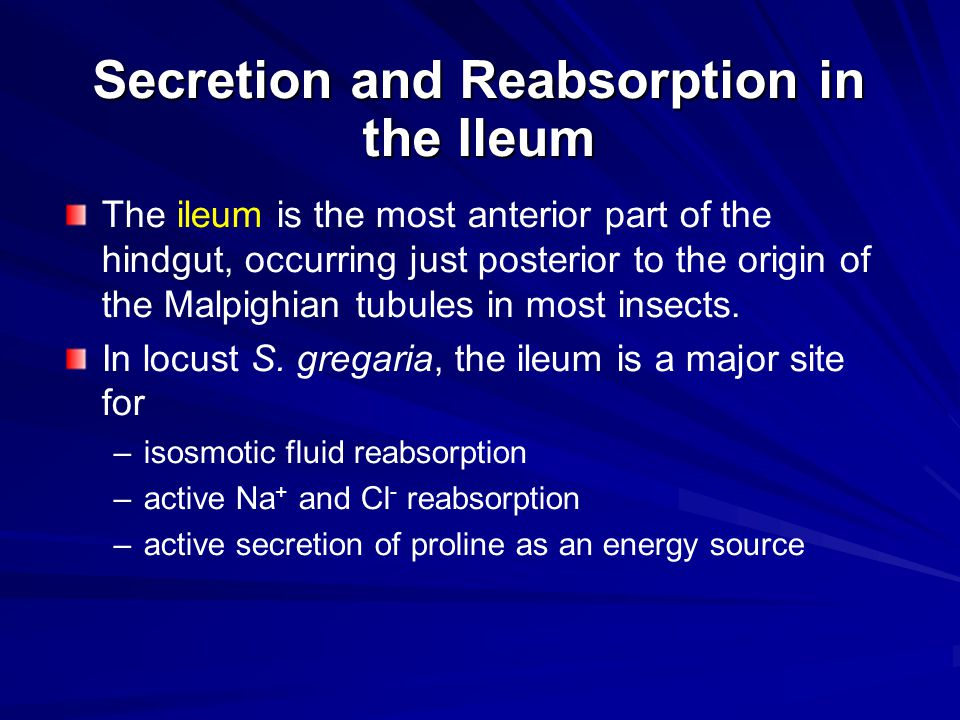 Secretion and Reabsorption in the Ileum The ileum is the most anterior part of the hindgut, occurring just posterior to the origin of the Malpighian t