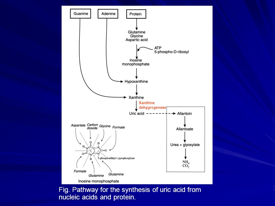 Fig. Pathway for the synthesis of uric acid from nucleic acids and protein. Xanthine dehygrogenase
