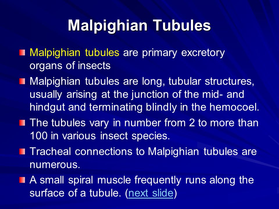 Malpighian Tubules Malpighian tubules are primary excretory organs of insects Malpighian tubules are long, tubular structures, usually arising at the