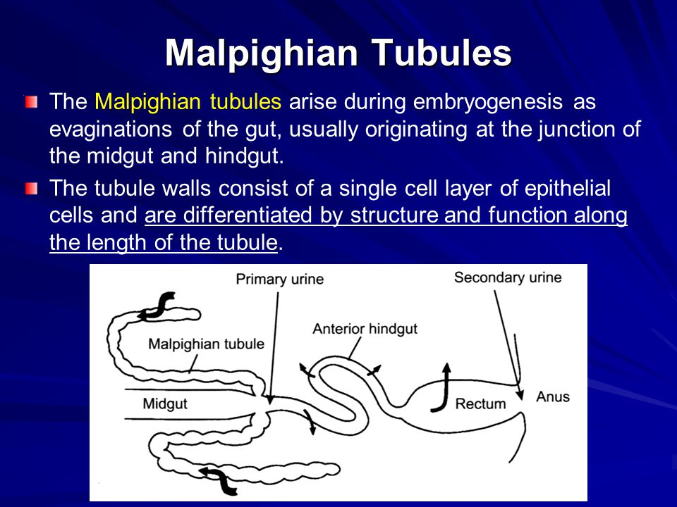 Malpighian Tubules The process of excretion is a two-step process, with much of the fluid that is taken up by the tubules resorbed by the hindgut before is passes out of the body.