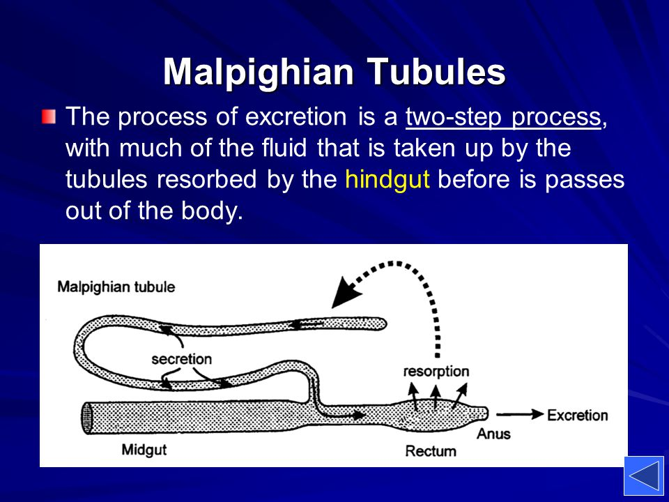 Malpighian Tubules The process of excretion is a two-step process, with much of the fluid that is taken up by the tubules resorbed by the hindgut befo