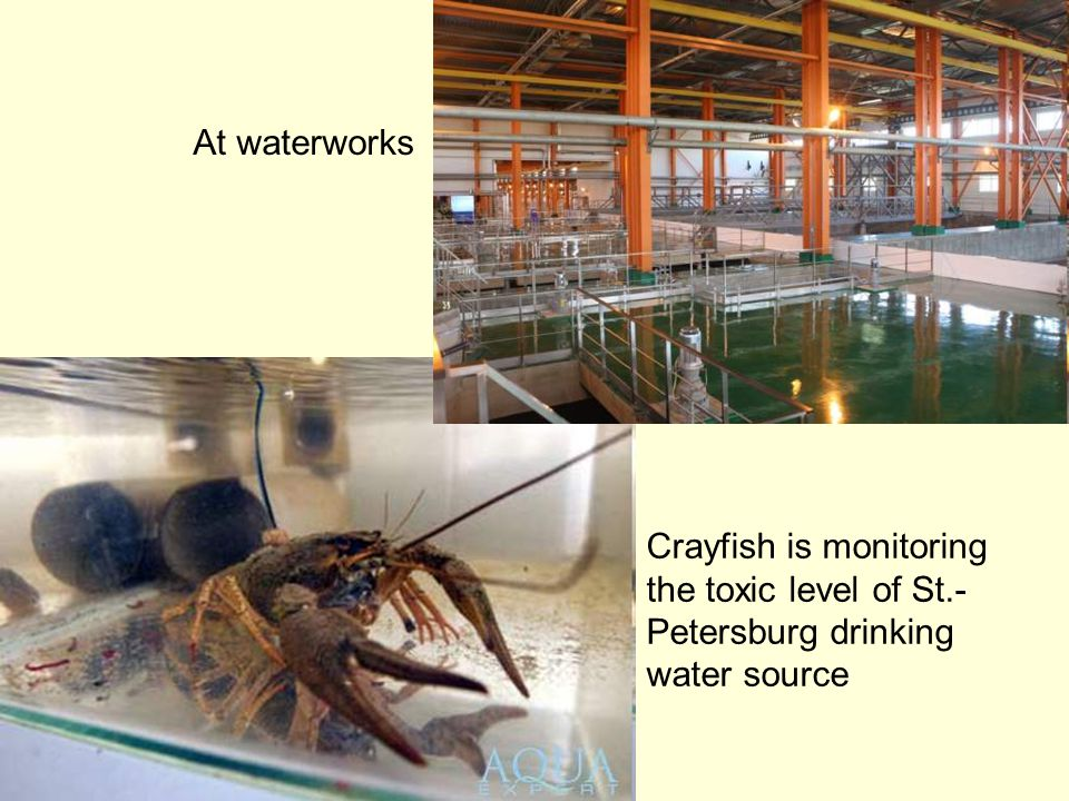 At waterworks Crayfish is monitoring the toxic level of St.- Petersburg drinking water source