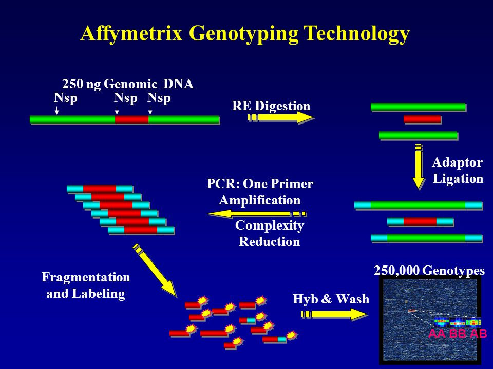 Affymetrix Genotyping Technology 250 ng Genomic DNA RE Digestion Adaptor Ligation Nsp Fragmentation and Labeling PCR: One Primer Amplification Complex