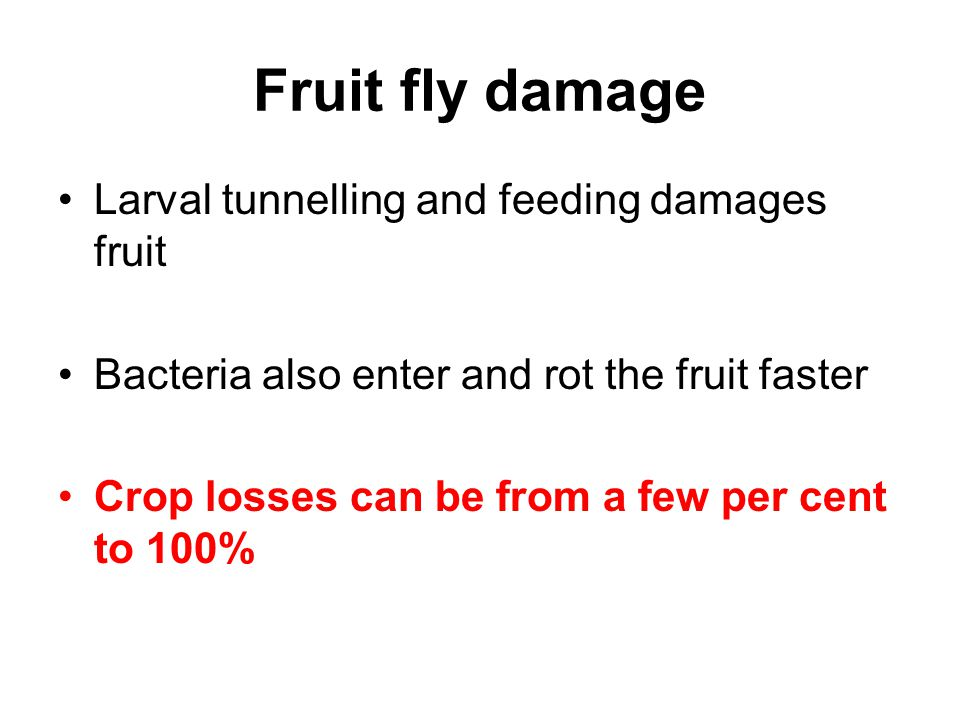 Fruit fly damage Larval tunnelling and feeding damages fruit Bacteria also enter and rot the fruit faster Crop losses can be from a few per cent to 10