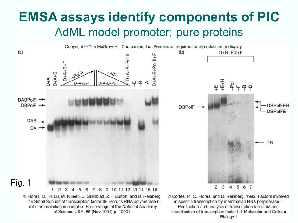 EMSA assays identify components of PIC AdML model promoter; pure proteins 11-10 Fig. 1