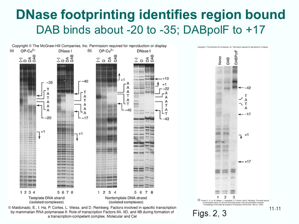 DNase footprinting identifies region bound DAB binds about -20 to -35; DABpolF to +17 11-11 Figs. 2, 3