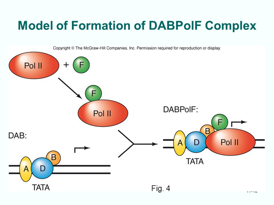 11-12 Model of Formation of DABPolF Complex Fig. 4