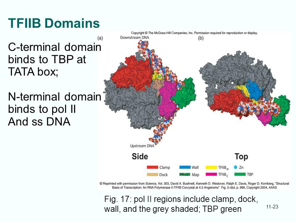 11-23 TFIIB Domains Fig. 17: pol II regions include clamp, dock, wall, and the grey shaded; TBP green C-terminal domain binds to TBP at TATA box; N-te