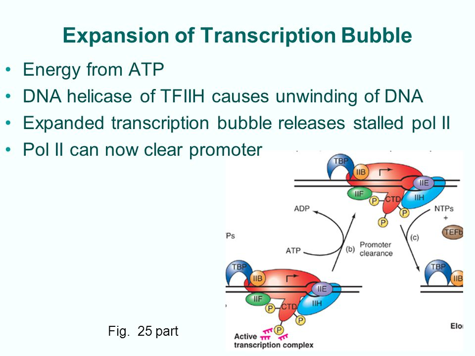 11-28 Expansion of Transcription Bubble Fig. 25 part Energy from ATP DNA helicase of TFIIH causes unwinding of DNA Expanded transcription bubble relea