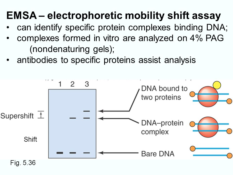 electrophoretic mobility shift assay protocol Explore the latest articles, projects, and questions and answers in electrophoretic mobility shift assay emsa, and find electrophoretic mobility shift assay emsa experts.