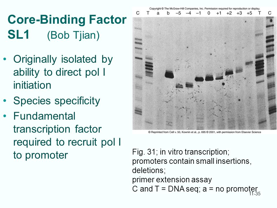11-35 Core-Binding Factor SL1 (Bob Tjian) Originally isolated by ability to direct pol I initiation Species specificity Fundamental transcription fact