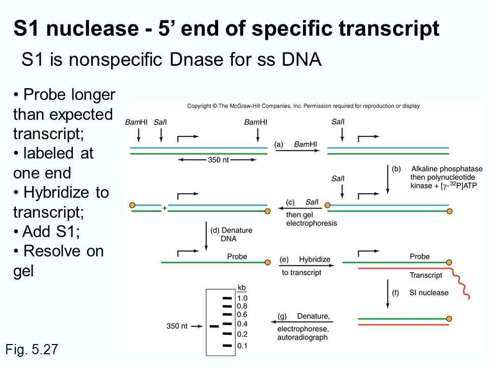 Fig. 5.27 S1 nuclease - 5 end of specific transcript S1 is nonspecific Dnase for ss DNA Probe longer than expected transcript; labeled at one end Hybr