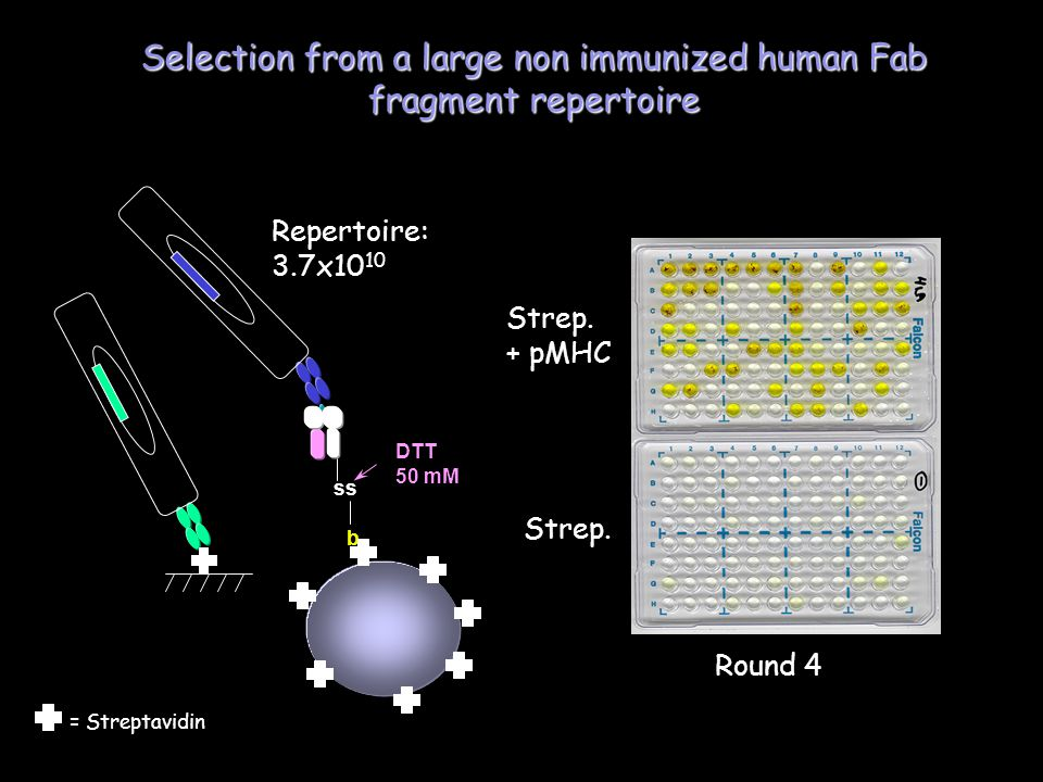 ss b DTT 50 mM Round 4 Repertoire: 3.7x10 10 Selection from a large non immunized human Fab fragment repertoire Strep.