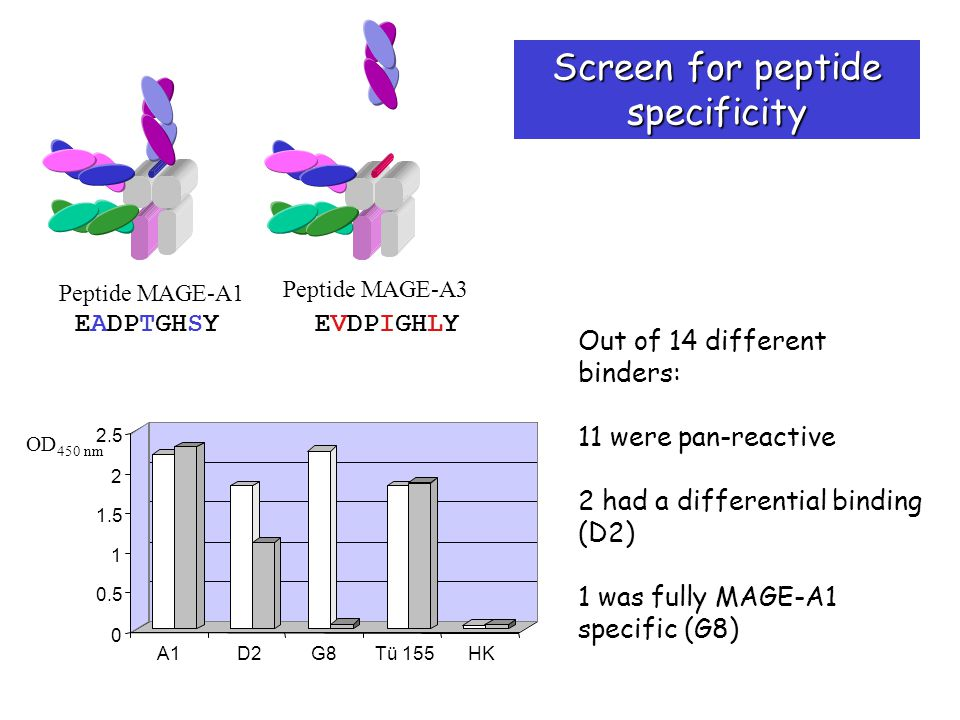 EADPTGHSY EVDPIGHLY Peptide MAGE-A1 Peptide MAGE-A3 0 0.5 1 1.5 2 2.5 A1D2G8Tü 155HK OD 450 nm Out of 14 different binders: 11 were pan-reactive 2 had a differential binding (D2) 1 was fully MAGE-A1 specific (G8) Screen for peptide specificity