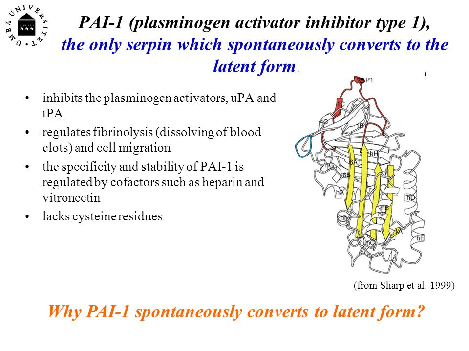 Conclusion: the A- -sheet of PAI-2 is more open in the polymerogenic form than in the stable monomeric form of the inhibitor.