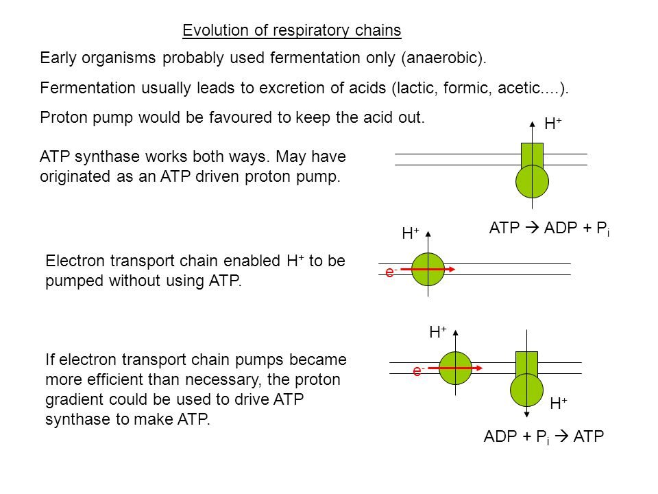Evolution of respiratory chains Early organisms probably used fermentation only (anaerobic).