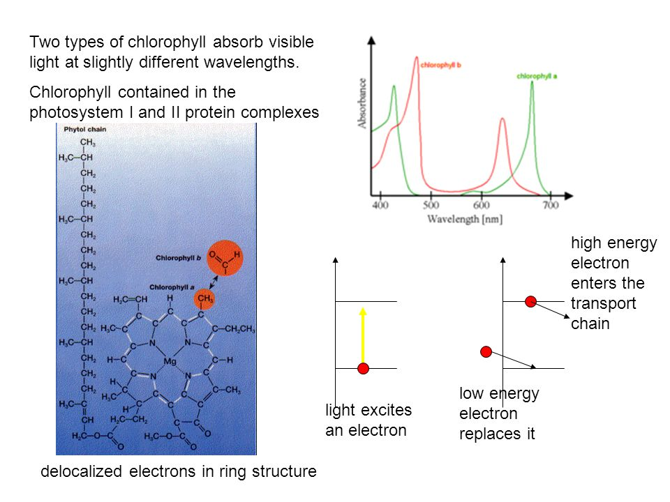delocalized electrons in ring structure Two types of chlorophyll absorb visible light at slightly different wavelengths.