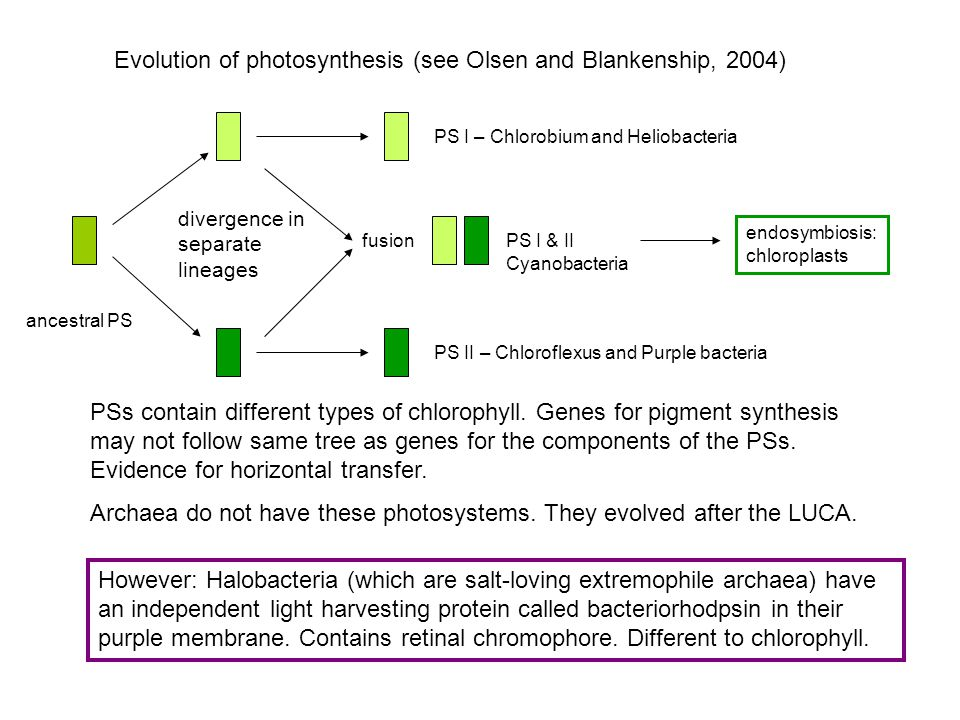 Evolution of photosynthesis (see Olsen and Blankenship, 2004) ancestral PS divergence in separate lineages fusion PS I – Chlorobium and Heliobacteria PS I & II Cyanobacteria PS II – Chloroflexus and Purple bacteria endosymbiosis: chloroplasts PSs contain different types of chlorophyll.