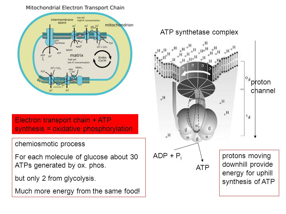 ATP synthetase complex proton channel ADP + P i ATP Electron transport chain + ATP synthesis = oxidative phosphorylation chemiosmotic process For each molecule of glucose about 30 ATPs generated by ox.