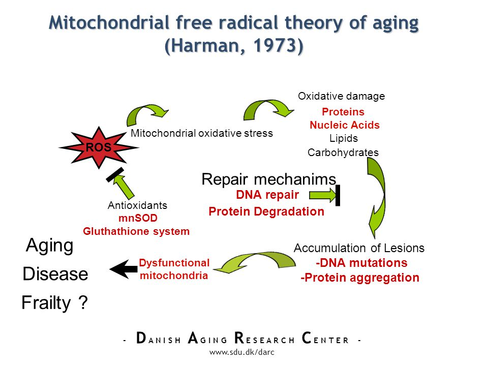 - D A N I S H A G I N G R E S E A R C H C E N T E R - www.sdu.dk/darc Mitochondrial free radical theory of aging (Harman, 1973) ROS Mitochondrial oxidative stress Oxidative damage Proteins Nucleic Acids Lipids Carbohydrates Repair mechanims DNA repair Protein Degradation Accumulation of Lesions -DNA mutations -Protein aggregation Antioxidants mnSOD Gluthathione system Aging Disease Dysfunctional mitochondria Frailty