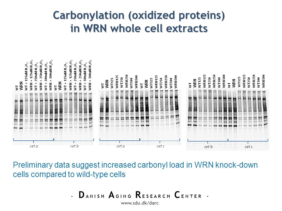 - D A N I S H A G I N G R E S E A R C H C E N T E R - www.sdu.dk/darc Carbonylation (oxidized proteins) in WRN whole cell extracts Preliminary data suggest increased carbonyl load in WRN knock-down cells compared to wild-type cells