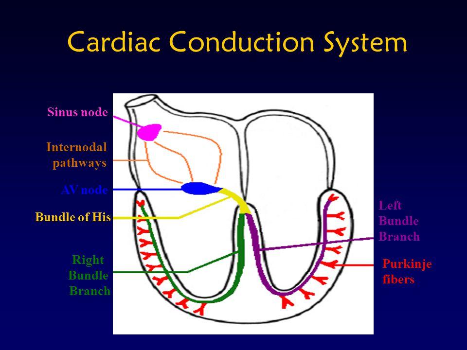 Cardiac Conduction System Left Bundle Branch Purkinje fibers Right Bundle Branch Bundle of His AV node Internodal pathways Sinus node