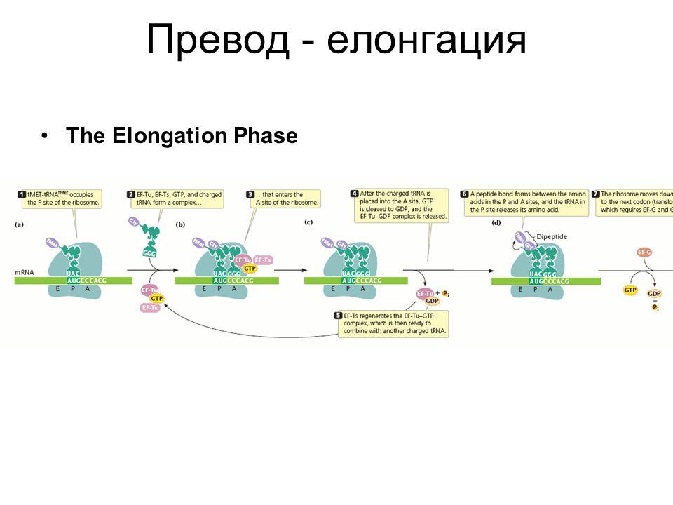 Превод - елонгация The Elongation Phase