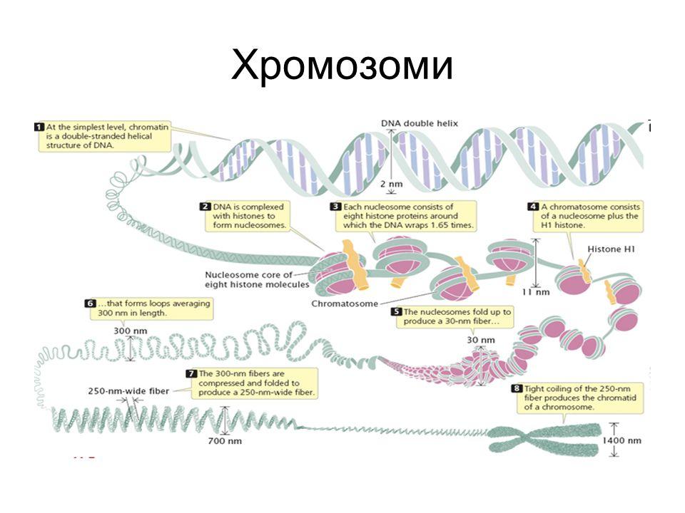 Хромозоми