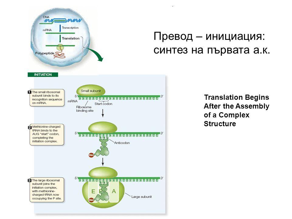Translation Begins After the Assembly of a Complex Structure Превод – инициация: синтез на първата а.к.