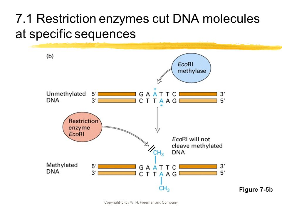 Copyright (c) by W. H. Freeman and Company 7.1 Selected restriction enzymes