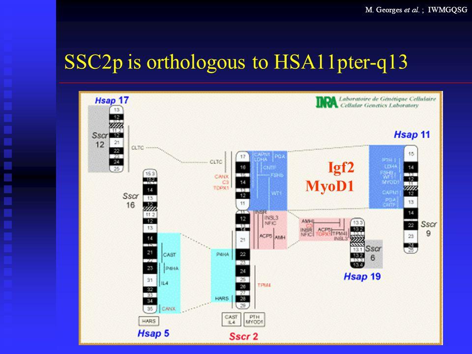 M. Georges et al. ; IWMGQSG SSC2p is orthologous to HSA11pter-q13 Igf2 MyoD1