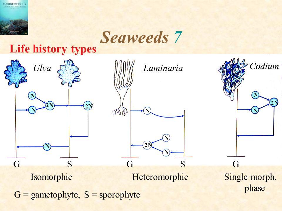 Seaweeds 7 N N 2N N N N N N N Isomorphic Heteromorphic Single morph. phase G S G S G Ulva Codium Laminaria G = gametophyte, S = sporophyte Life histor