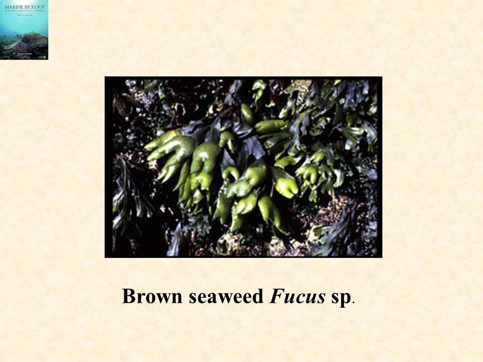 Brown seaweed Fucus sp.