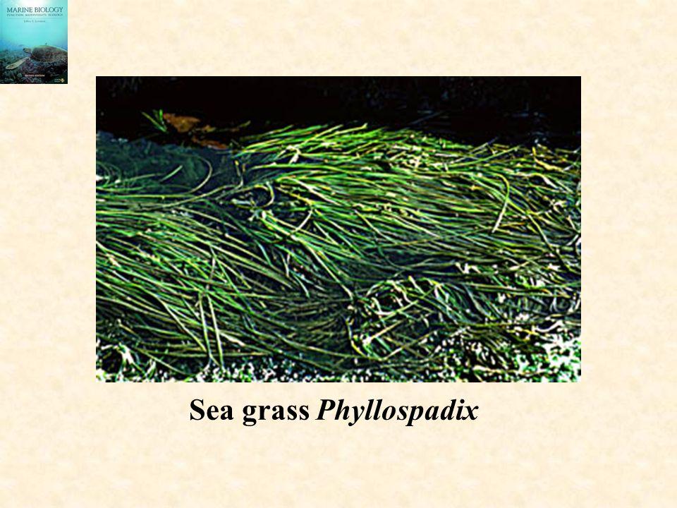Sea grass Phyllospadix